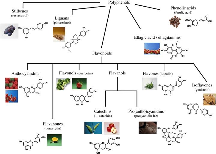 Famille des polyphénols